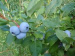 really big blueberries