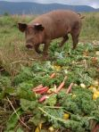 lucky pig with unsellable produce