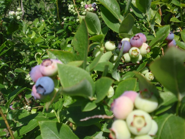 almost blueberry time