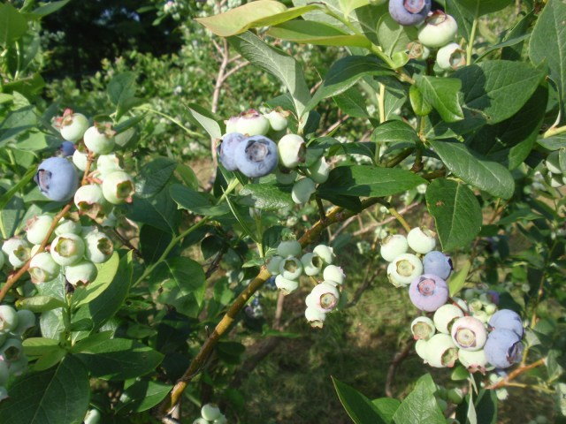 Blueberries are almost ready